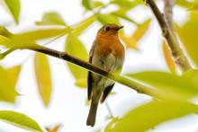 Red Robin Bird