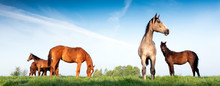 Young Horses Under Blue Sky In Green Grassy Meadow