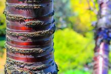 Close-up Of Paperbark Cherry Tree Trunk