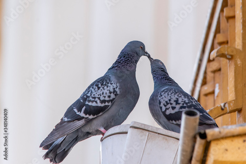 Sweet scene of two pigeons kissing and looking affectionate and human-like Canvas Print