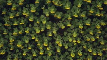 Aerial Flying Over Blooming Yellow Sunflowers Field With Blue Cloudless Sky. Sunflowers Field Under Blue Sky White Fluffy Clouds. Wonderful Drone Photo For Ecological Concept
