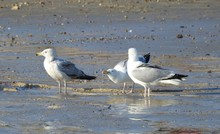 A Group Of Seagulls Drinking W...