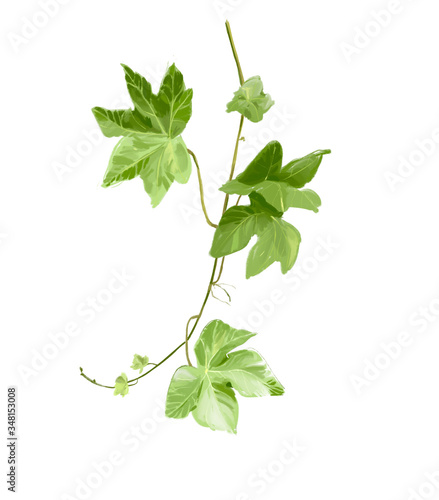 Foto Hedera branch of a tree isolated on white background hand-drawn