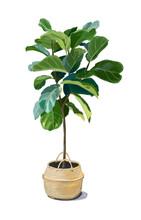 Ficus Lyrata, Ficus Tree In A Pot Hand-drawn Illustration