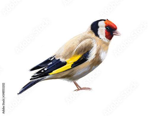 Fotografia, Obraz Carduelis carduelis goldfinch isolated on white background hand-drawn