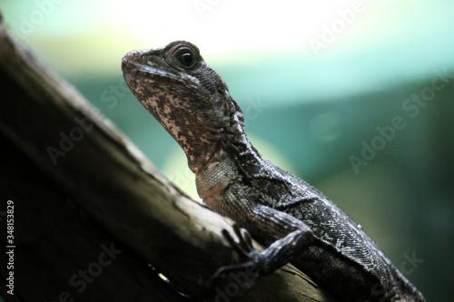 Fotomural Toloque rayado, también conocido como basilisco marrón o rayado (Basiliscus vitt