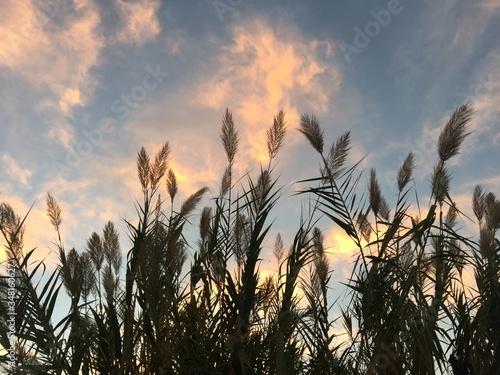 Sedges Growing Against Sky During Sunset Fototapeta