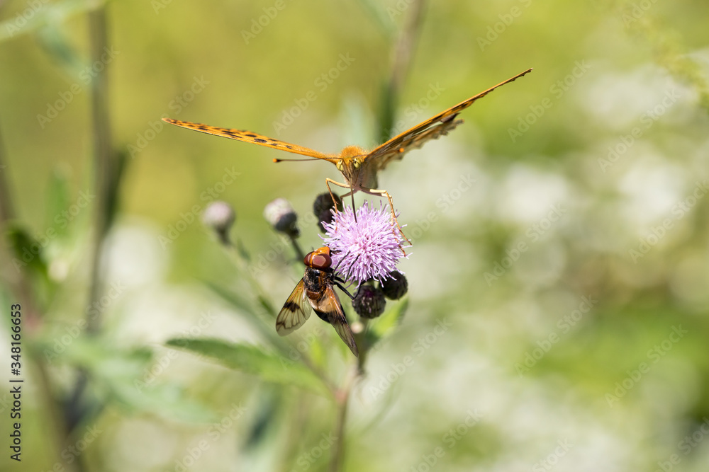 Fototapeta Argynnis paphia , kolorowy motyl