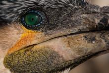 Close Up On Bird Eye