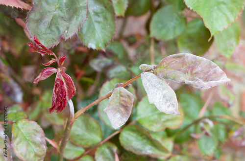 Powdery mildew on a rose plant and leaves, UK Canvas-taulu