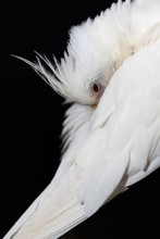 Close Up Of A White Cockatiel