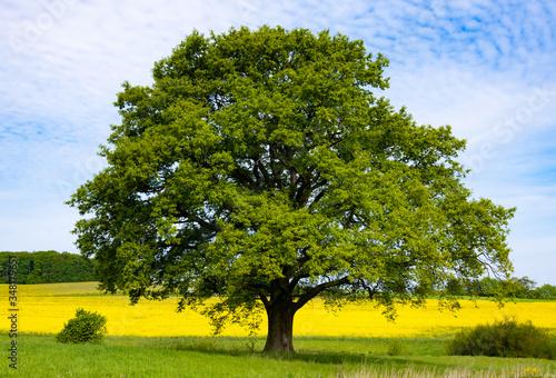 Fotografie, Obraz Eiche Quercus Baum freistehend Rapsfeld Frühling Sauerland Deutschland Menden Oe