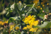 High Angle View Of Bee On Yellow Daisy