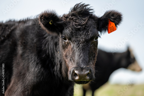 Платно Beef cows and calfs grazing on grass in south west victoria, Australia