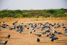 Domestic Pigeons / Feral Pigeo...