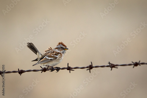 Photo American Tree Sparrow perched on barbed wire with wind ruffling feathers with so