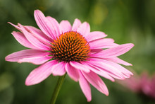 Close-up Of Coneflower Bloomin...