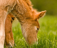 A Pretty Cute Chestnut Foal Of...
