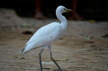 White Great Egret Walking