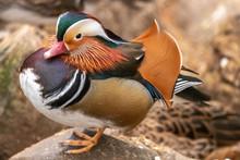 A Mandarin Duck Stands On A Ro...