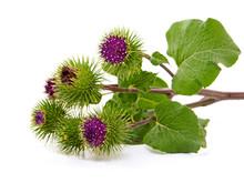 Burdock Flower Isolated On Whi...