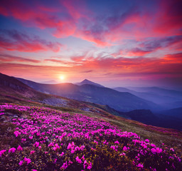 Panel Szklany Popularne Charming pink flower rhododendrons at magical sunset. Location place Carpathian mountains, Ukraine, Europe.