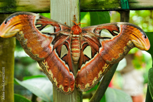 attacus Atlas,the Atlas moth is a large saturnild moth endemic  to the forest of Canvas Print