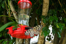 Butterfly  Drinking Water ,ins...