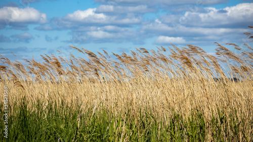 Photo reed ashore