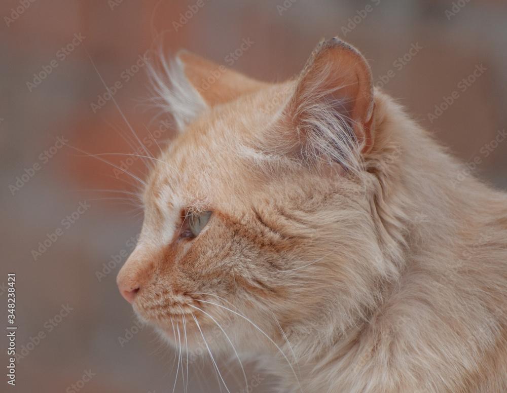 Fototapeta felinos, animal, mascota, gatita, felíno, pelaje, domestica, cuca, retrato, blanco, ocular, felinos, mascota, felinos, bigote, animal, mamífero, ocular, cara, mirada, blando, hermoso, rojo, anaranjada