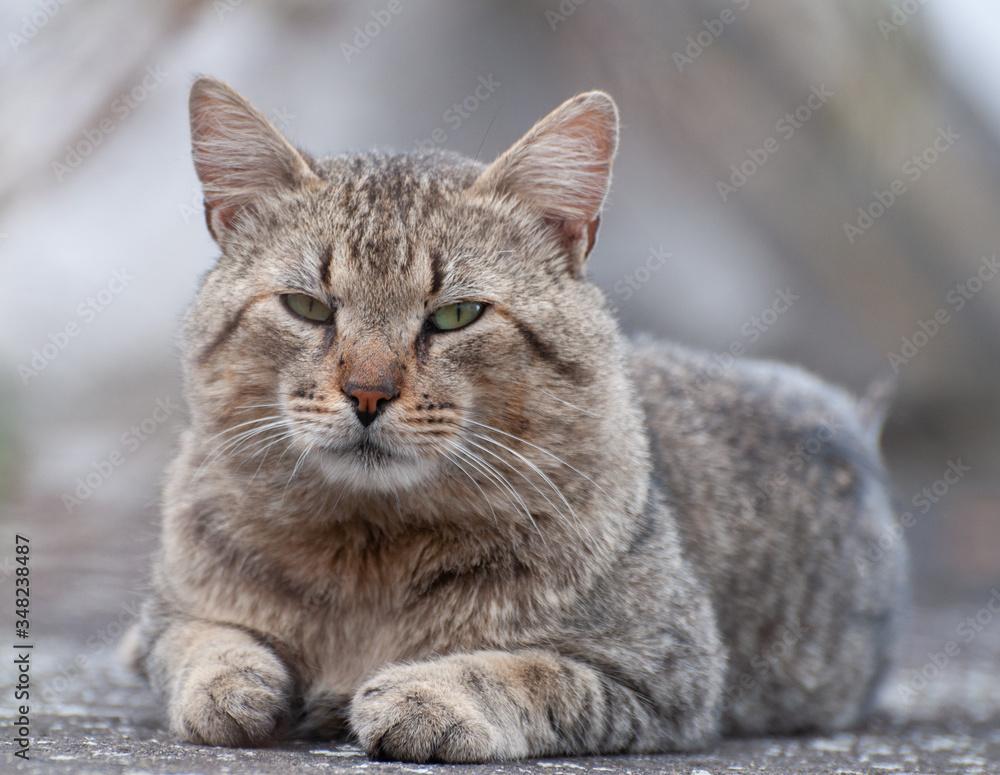 Fototapeta felinos, animal, gatita, mascota, cuca, felíno, domestica, gato atigrado, retrato, pelaje, mamífero, felinos, ocular, naturaleza, miniatura, mascota, joven, gris, gris, hermoso, mirada, animal, café,
