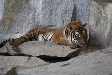Tiger Relaxing On Rock
