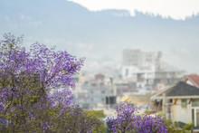 Purple Jacaranda Trees In Urba...