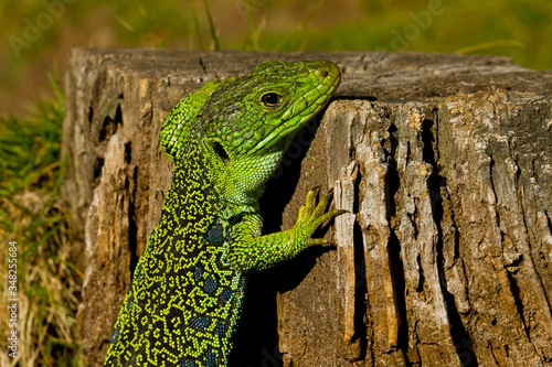 Ocellated Lizard on the trunk sunbathing. Canvas Print