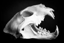 Dead Mammal Animal Skull