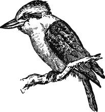 Australian Kookaburra, Vector Sketch Of A 19th Century Engraving