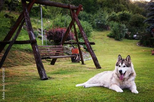 Fényképezés Full Length Of Siberian Husky Lying On Field