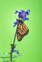 Newly Emerged Monarch Butterfl...