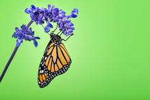 Newly Emerged Monarch Butterfl...