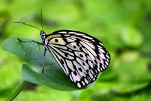 Close-up Of Paper Kite Butterfly On Leaf
