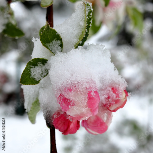 Anomaly of nature in Lithuania, snow  during the blooming of gardens in May, 202 Wallpaper Mural