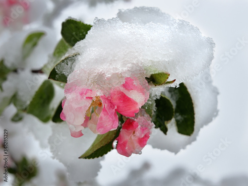 Photo Anomaly of nature in Lithuania, snow  during the blooming of gardens in May, 202