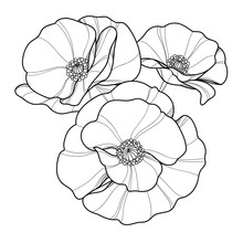 Hand Drawing Poppies Flowers F...