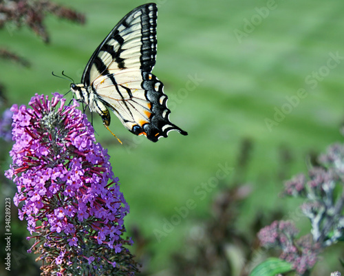 Photo Close-up Of Butterfly Pollinating On Purple Flower