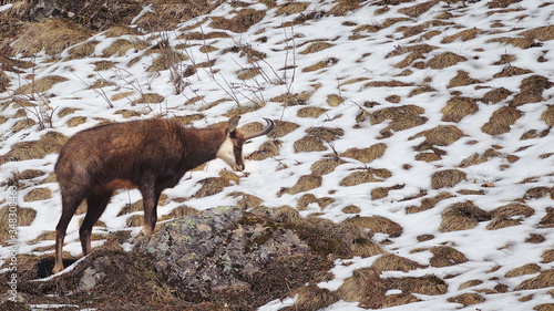 Alpine chamois or Rupicapra rupicapra climbing over rock showing side profile with melting snow in background Fototapete