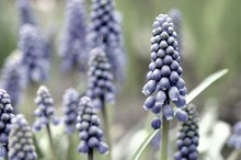 Close-up Of Grape Hyacinths Bl...