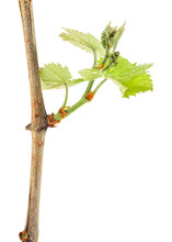 Branch Of Grape Vine With Young Leaves Isolated On A White Background