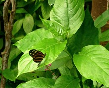 Heliconius Ismenius, The Ismenius Tiger Or Tiger Heliconian Butterfly, On A Green Leaf.