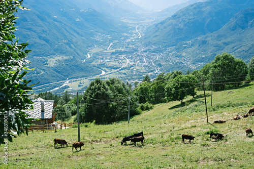 Photo Cows grazing in an alpine valley. Valle d' Ayas, Italy