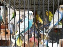 Lovebirds In Cage